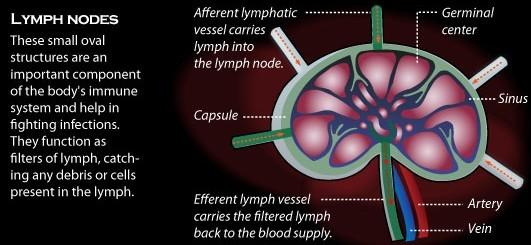 Lymph Gland