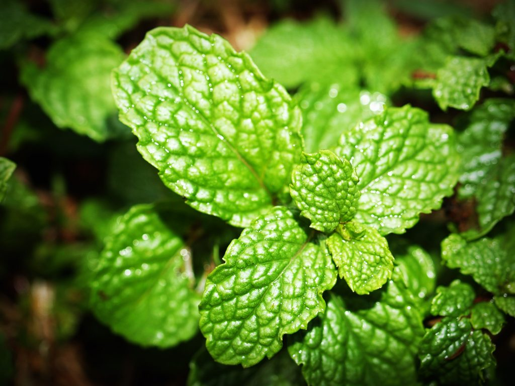 peppermint essential oil for insect or bug repellent and deterrent